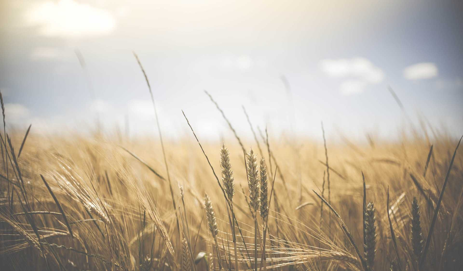 Le blé, incontournable de notre alimentation